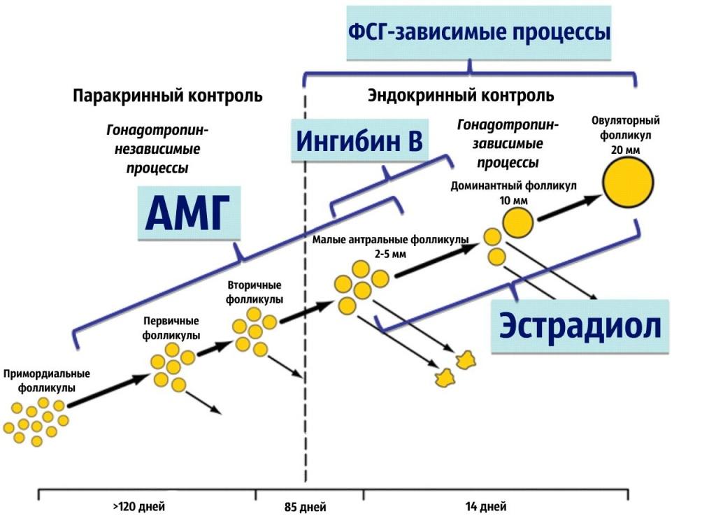 Антимюллеров гормон.jpg